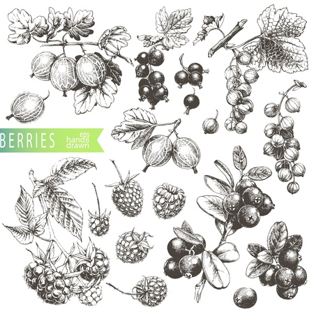 red currants: Great hand drawn illustrations of berries isolated on white background