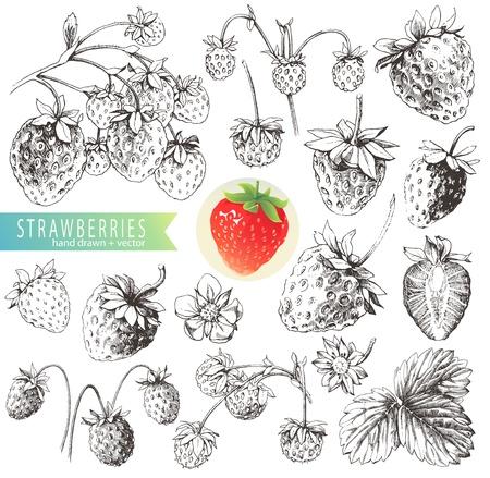 fresa: Gran colecci�n de manuales elaborados fresas aisladas sobre fondo blanco