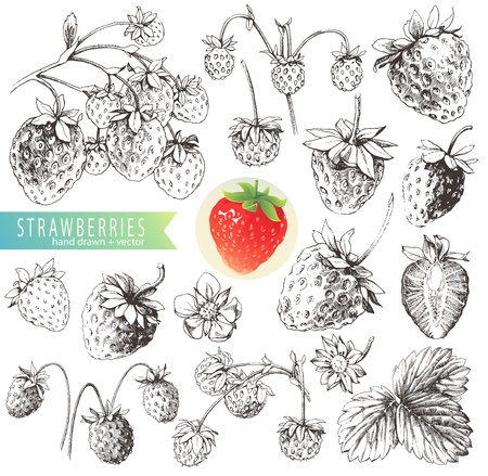 natura morta con fiori: Grande raccolta di fragole disegnati a mano isolato su sfondo bianco Vettoriali