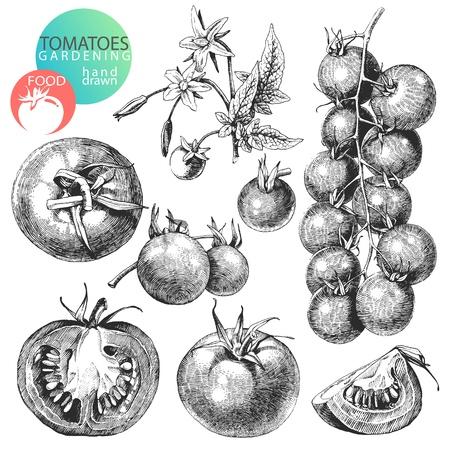 tomate cherry: Gran sistema de dibujado a mano tomates aislados sobre fondo blanco