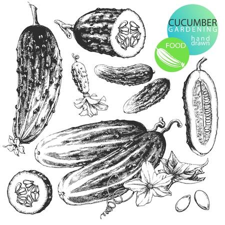 encurtidos: Ilustraciones dibujadas a mano altamente detallada de pepinos aisladas sobre fondo blanco Vectores