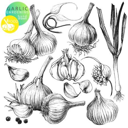 ajo: Colecci�n de ilustraciones dibujadas a mano con ajo s aisladas sobre fondo blanco