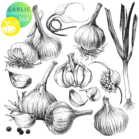 Collection of hand drawn illustrations with garlic s isolated on white background Vector