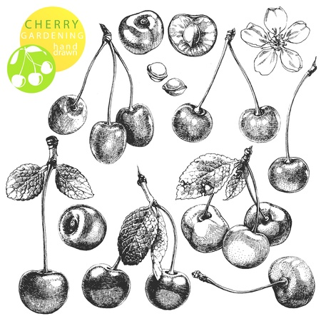 cherry: Hand drawn illustrations of cherries isolated on white background