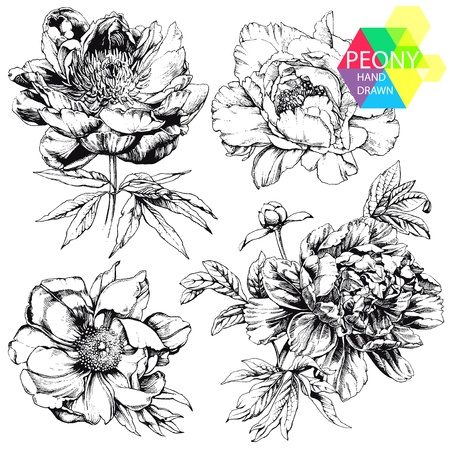 peony: Engraved hand drawn illustrations of ornate peonies. Flower buds, leaves and stems can be easily separated and removed Illustration