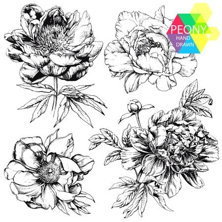 encyclopedias: Grabado dibujado a mano ilustraciones de peon�as adornadas. Capullos de las flores, hojas y tallos puede ser f�cilmente separado y eliminado