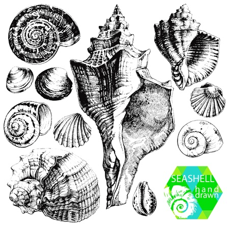 mussel: Hand drawn collection of various seashell illustrations isolated on white background