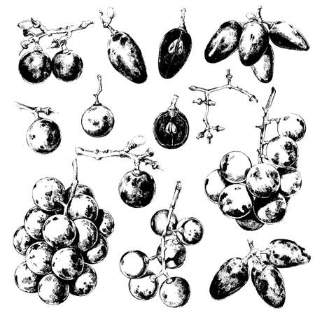 Hand drawn illustrations of various kinds of grapes