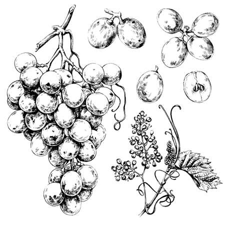 wine and grapes: Hand drawn illustrations of white grapes