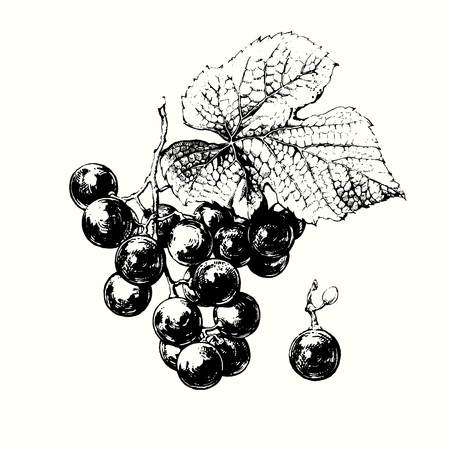 raisin: Hand drawn vine of grapes with leaf Illustration