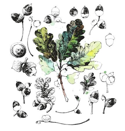 roble arbol: Conjunto de hojas dibujadas a mano de roble y bellotas de roble - tuercas aisladas en el fondo blanco