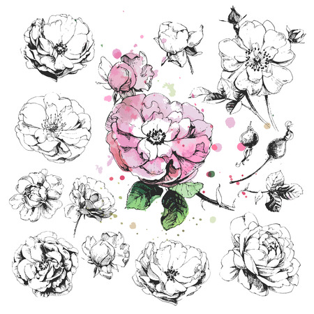 sketch: Hand drawn illustrations of wild rose flowers isolated on white background