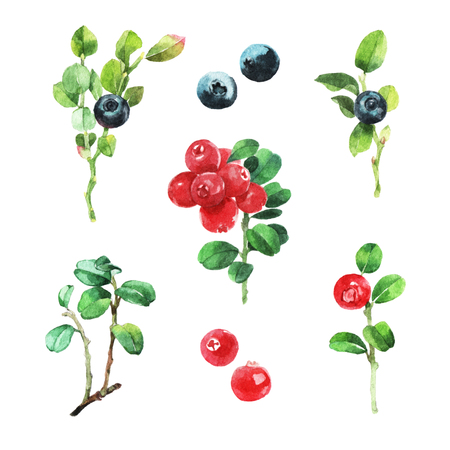 wild berry: Watercolour illustration of wild berries