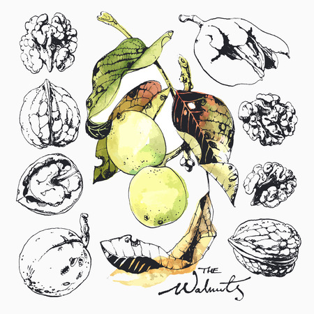 husk: Ink drawn illustration of walnuts in growth, in its green husk and peeled kernels Illustration