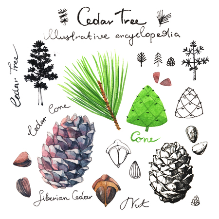 siberian pine: Cedar tree illustrative clip art collection of cedar cones and nuts Stock Photo