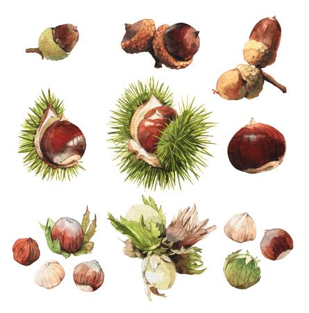 albero nocciolo: Acquerello di clip molto dettagliate arte illustrazioni di frutta secca: ghianda, castagne e nocciole Archivio Fotografico
