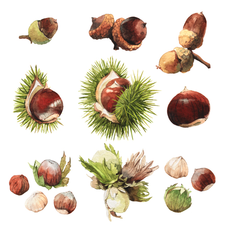 castaÑas: Acuarela ilustraciones de clip art, muy detallada de frutos secos: bellota, castaña y avellana Foto de archivo