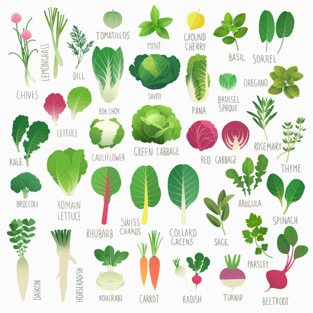 lettuce: Clip art food collection Vol.1: vegetables and herbs Illustration