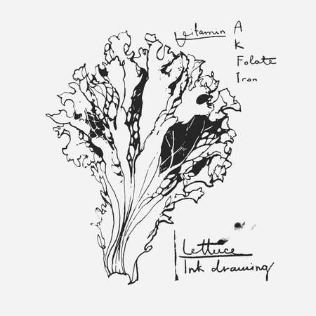 romaine lettuce: Ink drawn illustration of lettuce leaf