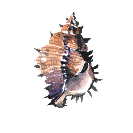 watercolour: Watercolour illustration of beautiful Murex sea shell
