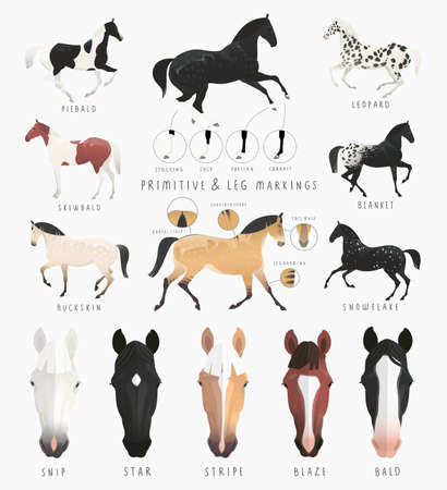 piebald: Clip art illustrations of horse facial and leg markings, primitive markings of dun coat coloring. Also variations of some rare coat colors Illustration