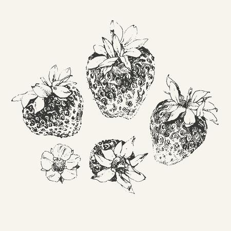 ink illustration: Ink drawn illustration of ripe strawberries