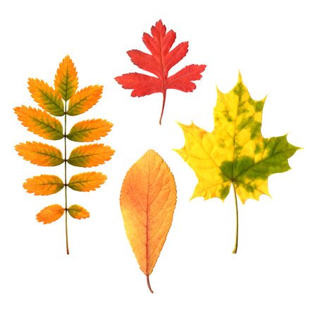 chokeberry: Collectiom of autumn leaves on white background