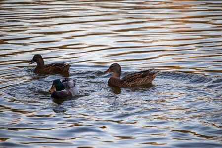 A duck and two grown-up ducklings float in a pond Banco de Imagens