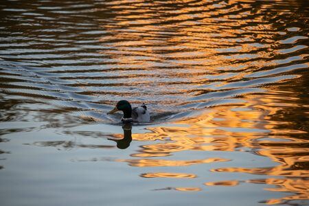 The duck swims at sunset and leaves waves on the water Archivio Fotografico