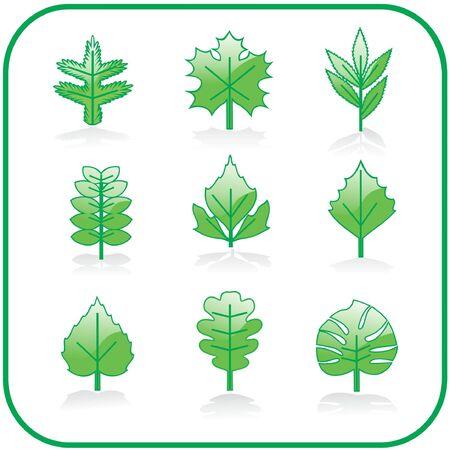 linden tree: leaf set Illustration