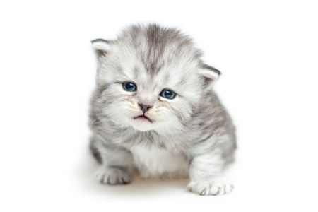 Striped Scottish kitten  isolated on white photo