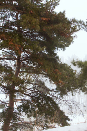 Photo Beautiful pine tree in the forest