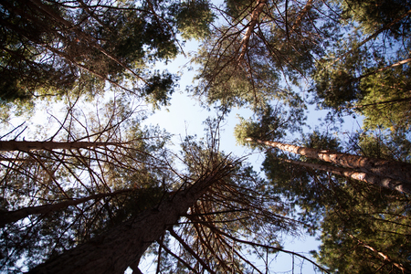 Coniferous forest. Background with bright spruce branches. Foto de archivo