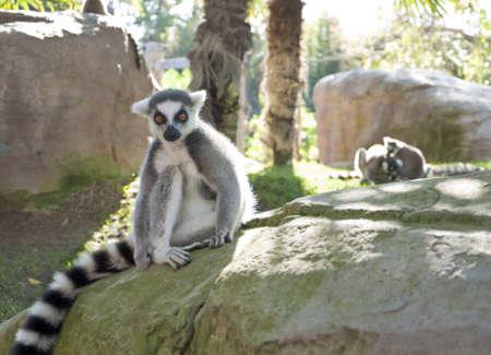 catta: Lemur (Eulemur catta).
