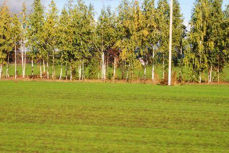 birch trees: Birch trees, green grass Stock Photo