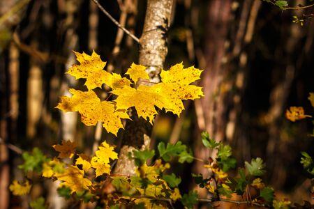 Maple leaf in autumn Stock Photo