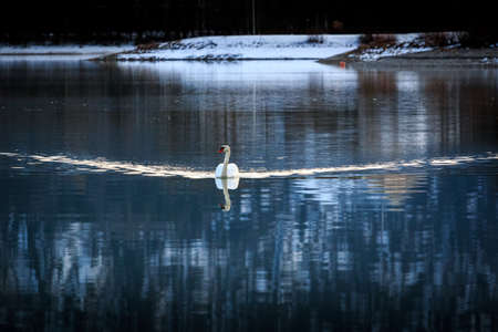 Swimming swan in the Forggensee