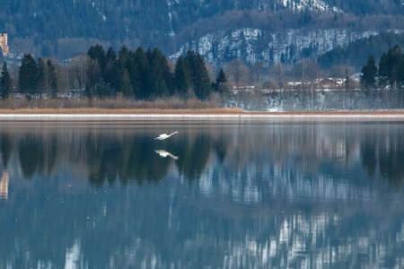 Flying swan at the Forggensee