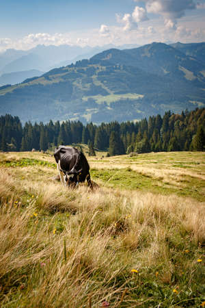 Cow on the Nagelfluhkette in the Allgäu Alps