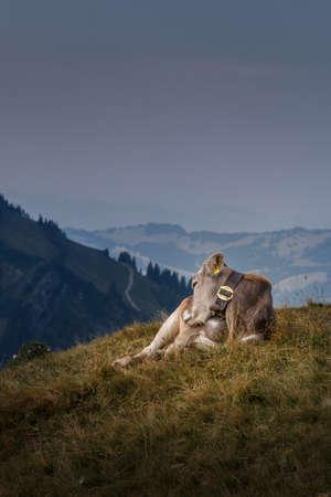 Cow on the Steineberg on the Nagelfluhkette in the Allgäu Alps