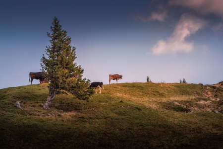Cows on the Nagelfluhkette in the Allgäu Alps 免版税图像