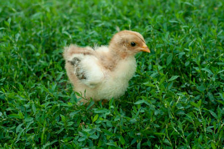 little kid chick standing on green grass background