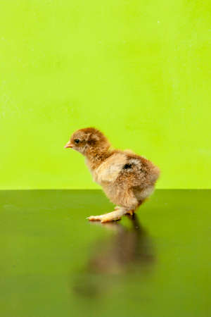little kid chick standing on green background Banque d'images