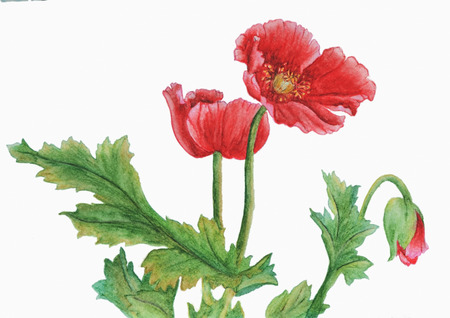 Watercolor with red poppies. These are beautiful red poppies with green foliage. Illustration executed in Chinese style, isolated on white background. Banco de Imagens