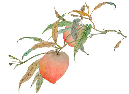 On the watercolor is a branch with two beautiful ripe peaches. Illustration executed in Chinese style, isolated on white background. 스톡 콘텐츠