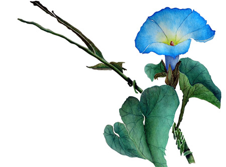 Watercolor with flower ipomoea and leaves. One beautiful blue flower of morning glory. Illustration executed in traditional style, isolated on white background.