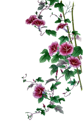 Watercolor with a flowering branch ipomoea. Beautiful mauve flowers of morning glory blooming twig of convolvulus. Illustration taken on a white background. Imagens