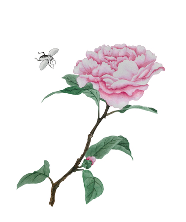 Watercolor illustration with one lush pink peony flower, near the flower flies midge
