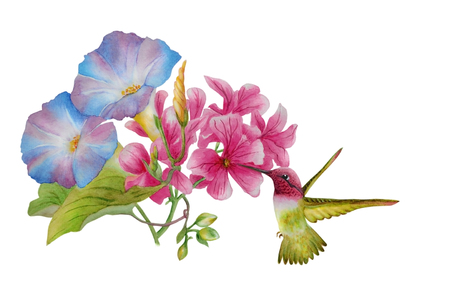 Watercolor with a flowering morning glory and pink mallow. Nearby flies a beautiful hummingbird, collecting nectar. Illustration executed in backgroundhinese style, isolated on white background. Фото со стока