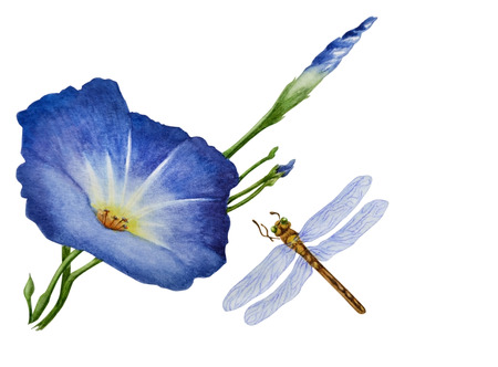 Watercolor with a flowering branch ipomoea. One beautiful blue flower of morning glory, dragonfly flies nearby. Illustration executed in traditional сhinese style, isolated on white background.